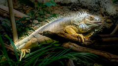 Green iguana - Berlin Zoological Garden(Zoologischer Garten Berlin) (Daniel Poon 2012) Tags: musictomyeyes artistoftheyear amazingphoto 123 blinkagain blinkstomyeyes flickr nikonflickraward simplysuperb simplicity storytelling nationalgeographic ngc opticalexcellence beauty beautifullight beautifulcapture level2autofocus landscape waterscape bydanielpoon danielpoonca worldtravel superphotosgroup theamusingphotogroup powerofnikon aplaceforgreatphotographers natureimage focusandclick travelaroundthe world worldmasterpiece waterwatereverywhere worldphotography yourbestphotography mybestphotography worldwidewandering travellersworld orientalland nikond500photography photooftheyear nikonshooters landscapeoftheworld waterscapeoftheworld cityscapeoftheworld groupforallusersofnikon chinesephotographers nightoftheiguana