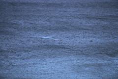 IMG_3565 (gervo1865_2 - LJ Gervasoni) Tags: surfing with whales lady bay warrnambool victoria 2017 ocean sea water waves coast coastal marine wildlife sealife blue photographerljgervasoni