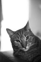 Hobbes (getsomejelly) Tags: cat tabby grown stripes bokeh shallow depth field 50mm