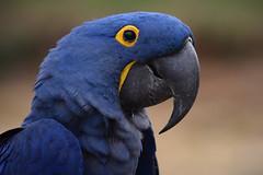 Hyacinth macaw @ Bioparc Doué la Fontaine 05-09-2017 (Maxime de Boer) Tags: hyacinth macaw bird vogel bioparc doué la fontaine zoo france animals dieren dierentuin gods creation schepping creator schepper genesis