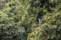 Point de vue du nid (leguen.maxime) Tags: héron cendré nid loire loiret 2018 olivet arbre branche vue animal oiseau