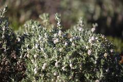 Cannonball Burr (oz_lightning) Tags: australia canon6d canonef100400mmf4556lisiiusm chenopodiaceae dissocarpus fordsbridge nsw botany closeup nature outback rural shrubs newsouthwales aus