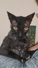 Bobcat in San Francisco (Boska) Tags: cornishrex cat adoption