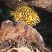 Sharing a home - cuttlefish and pineapplefish #marineexplorer