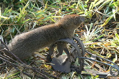 Mongoose caught in gin trap