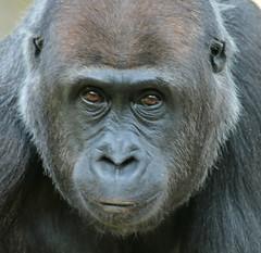 western lowlandgorilla Berlin Zoo JN6A4248 (j.a.kok) Tags: westelijkelaaglandgorilla westernlowlandgorilla lowlandgorilla laaglandgorilla gorilla animal africa afrika aap ape primate primaat mammal monkey mensaap zoogdier dier berlijn berlijnzoo