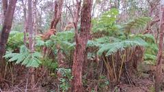 Big Island Ferns (Stabbur's Master) Tags: hawaii hawaiianislands bigisland kilaueacrater hawaiivolcanoesnationalpark usnationalpark nationalpark kilaueaikitrail kilaueaikicrater
