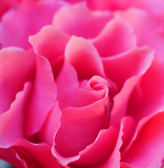 Pink Swirl (Grazerin/Dorli Burge) Tags: rose flower floral petal macro pink abstract flowerabstract selectivefocus bokeh elements