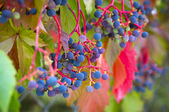 Virginia Creeper (s.d.sea) Tags: grapes wild vine grow summer fall seasons lwtech kirkland horticulture washington washingtonstate pnw pacificnorthwest pentax k5iis macro 2470mm berries grape bokeh leaves foliage