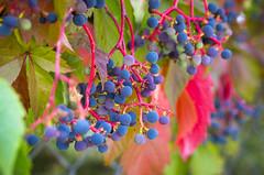 Wild Grapes (s.d.sea) Tags: grapes wild vine grow summer fall seasons lwtech kirkland horticulture washington washingtonstate pnw pacificnorthwest pentax k5iis macro 2470mm berries grape bokeh leaves foliage