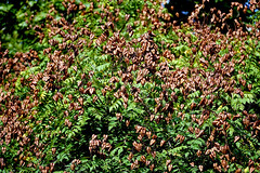 Rispiger Blasenbaum (ingrid eulenfan) Tags: baum tree rispigerblasenbaum halle natur