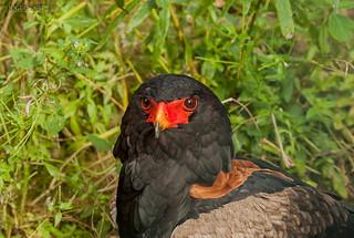 Walsrode, Weltvogelpark, Gaukler