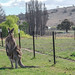 Australia -Kangaroos in horse paddock