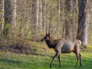 IMGPJ06232C_Fk - Great Smoky Mountain National Park - Elk