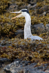 Coastal Heron (Paul Brunt) Tags: greyheron grey heron bird feathers white black rocks seaweed coast coastal northumberland northernengland england unitedkingdom