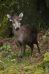 Michie's Tufted Deer (Elaphodus cephalophus michianus) (kevinvarzoos) Tags: rotterdam zoo diergaarde blijdorp mammal tufted deer