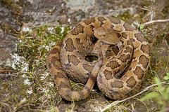 Crotalus ravus (Matthieu Berroneau) Tags: trip mexique sony alpha macro nature france herpéto wildlife animal animaux ff 24x36 full frame a7ii 7ii 7mk2 sonyilce7m2 herping herpeto reptile reptilian reptilia serpent serpente snake serpentes snakes serpiente field herp venomous poisonous serpents sonya7ii sonya7mk2 sonyalpha7mark2 sonyalpha7ii 90 28 fe f28 g oss fe90f28macrogoss sonyfesonyfe2890macrogoss objectifsony90mmf28macrofe sel90m28g crotalus ravus crotalusravus cascabel pigmea mexicana cascabelpigmeamexicana cascabeldenueveplacas viboritadecascabel colcoatl sistrurus mexicanpigmyrattlesnake mexicanpygmyrattlesnake crotale pygmé crotalepygmé