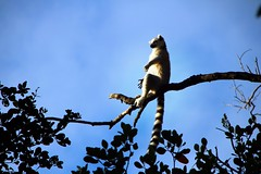 Ancora un attimo - Still a moment (immaginaitalia) Tags: sud africa south tourism turismo viaggio trip friends amici 2018 winter inverno continente africano continent african australe emisfero colori colors colorfull colorato parco scimmie riserva monkeyland reserve garden route lemure lemur relax riposo tramonto sunset plettemberg bay coda tail bianco e nero sole sun splende shine allaperto outdoor foglie leaves ramo