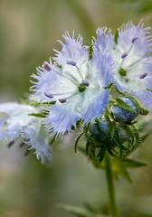 Miami mist #1 (billd_48) Tags: ohio spring nature macro cvnp cuyahogavalleynationalpark flowers miamimist oh usa