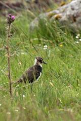 Lapwing Juvenile (Colin Rigney) Tags: nature wildlife scotland colinrigney scottishwildlife birds wings outdoors outside avian canon wild beautifulbirds wildbirds isleofmull lapwing