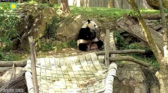 2018_08-16q (gkoo19681) Tags: meixiang beautifulmama sopretty proudmama adorableears feetsies treattime yummyfruitcicle visiting switcheroo contentment licketylick comfy listening donotcare precious adorable darling amazing perfection ccncby nationalzoo