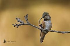 Colibrí de Allen (Selasphorus sasin) (jsnchezyage) Tags: colibrídeallen selasphorussasin ave bird birding birdwatching ornithology beak feather hummingbird allen´shummingbird colibrí ngc npc