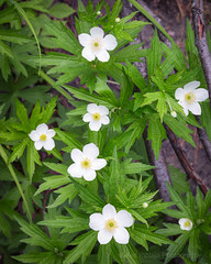 Wood Anemone (Kevin Pihlaja) Tags: woodanemone flower plant forest woodland nature green upperpeninsula michigan summer foliage whiteflower