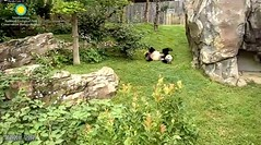 2018_08-19h (gkoo19681) Tags: beibei chubbycubby fuzzywuzzy adorableears feetsies sofluffy rolling havingfun sideways justbecausehecan toocute sillygoober beingadorable precious amazing meltinghearts ccncby nationalzoo