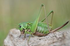 Unicorns Exist...female Wart-Biter Cricket (Decticus verricivorus) (willjatkins) Tags: wildlife animal animalportrait nature insect orthoptera cricket wartbiter wartbitercricket rarewildlife endangeredwildlife endangeredspecies decticus decticusverricivorus ukwildlife ukorthoptera ukcrickets britishwildlife britishorthoptera britishcrickets sussexwildlife sussexcrickets macro macrowildlife closeupwildlife closeup nikond610 nikon sigma105mm