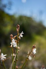 Flower (Stueyman) Tags: sony alpha a7 a7ii batis zeiss 25mm wa perth rockingham baldivis flower nature za batis225