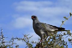 Sudafrica - Addo Elephant National Park - Secretary Bird (PierBia) Tags: sudafrica addo elephant national park secretary bird nikon d810