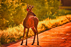 A Beautiful Thing:  Buck In Early Morning Light (J Henry G) Tags: deer whitetaileddeer backlit backlighting johnhenrygremmer wisconsindeer