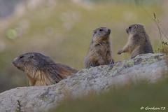 IMG_2424_DxO.jpg (Lumières Alpines) Tags: didier bonfils goodson73 marmottes lautaret faune alpes france