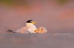 Sunrise Moment (Cameron Darnell) Tags: leasttern camerondarnell 2018 june massachusetts beach wildlife animal bird ocean sunrise