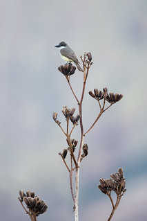 Thick-billed Kingbird