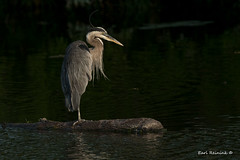 Heron - early morning light (Earl Reinink) Tags: heron bird morning light lighting sunrise water greatblueheron earlreinink ooudedzdza
