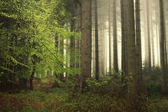 Archive Lights (Netsrak) Tags: baum bäume europa europe forst landschaft natur nebel wald fog forest landscape mist nature tree trees woods eifel