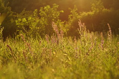 Шалфей в закате / Sage in sunset (Владимир-61) Tags: вечер июнь лето природа трава флора цветы шалфей evening junesummer nature flora flower sage sony ilca68 minolta 75300