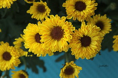 a little reminder of love (Judecat (back on the farm)) Tags: mums yellow anniversary nature