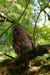 Chouette hulotte - Tawny Owl