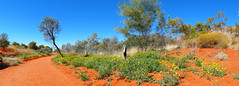 Outback- Alice Springs, Australia (Flortography) Tags: outdoor trail road dust sand desert outback australia park attraction alicesprings sun daylight day dia natura natural landscape panorama professional photography foto fotografia wilderness adventure grassland dry winter blue orange green grass flowers stump tree trees sky land panoramic view perspective meadow hill plants flora
