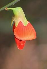 Pea Flower - Bossiaea walkeri - Kings Park Perth (2) (ailognom2005) Tags: perth westernaustralia australia flora flowers florafauna red redflowers peaflower bossiaeawalkeri kingspark naturalhistory