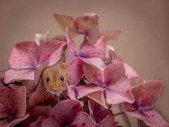Peek a Boo (Chris Willis 10) Tags: mice nature flower pinkcolor plant petal closeup flowerhead animal beautyinnature leaf cute blossom backgrounds freshness springtime purple singleflower pink