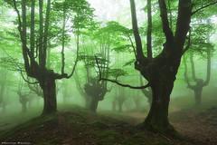 Green Souls (Hector Prada) Tags: forest bosque spring primavera fog niebla enchanted encantado creepy darkness oscuridad leaves hojas trees arboles woods paísvasco basquecountry