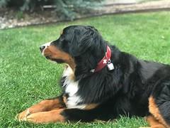 Tellie (Alpen Schatz - Mary Dawn DeBriae) Tags: happy customer alpenschatz bernesemountaindog dog swissdogcolar hunterswisscrosscollar doggles stein