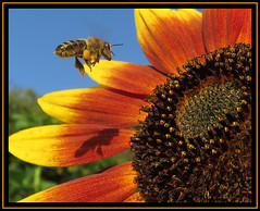 Hovering Honey Bee (M E For Bees (Was Margaret Edge The Bee Girl)) Tags: honeybee summer sun sky blue sunflower sunshine bright bloom blooming garden apismellifera pollen petals outdoors canon orange yellow hovering food flower flowerscolors forage growing shadow