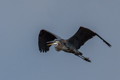 Great Blue Heron in Flight (gh_trker) Tags: greatblueheron nikon d7200 burlington