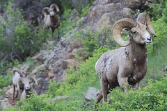 Bighorn rams (starc283) Tags: starc283 wildlife big horn sheep bighorn ram nature natures finest watcher canon 7d colorado rocky mountains mountain national forest flicker flickr animal naturesfinest naturewatcher