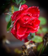 Raindrops on Petals (Jocey K) Tags: newzealand nikond750 christchurch raindrops rose flower raindropsonpetals