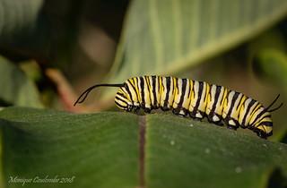 Chenille de papillon Monarque - Monarch butterfly Caterpillar